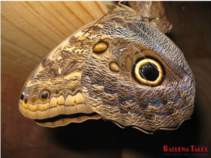 Owl Butterfly at the Butterfly Reserve in Playa Tortuga! 5