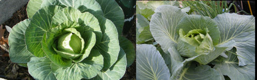 aquaponics cabbage comparison