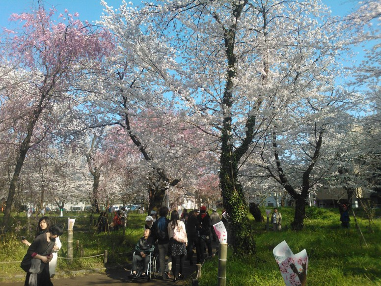 Visitors admiring the cherry trees.