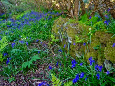Bluebells and mossy wall