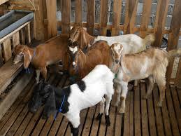 berapa umur kambing untuk aqiqah