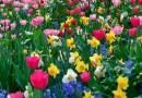 Spring Bulb planting