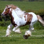 Clydesdale Horse Best Wallpaper 19916 Baltana