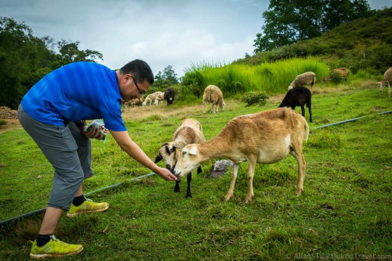 Sheep farm, Bario. Feeding sheep with salt. Apparently, the salts help in their digestion.