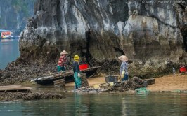 Locals harvesting oyster in Lan Ha Bay (Vietnam)