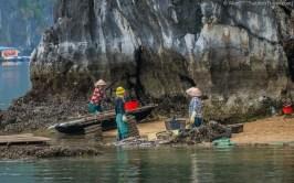 Locals harvesting oyster in Lan Ha Bay (Vietnam)