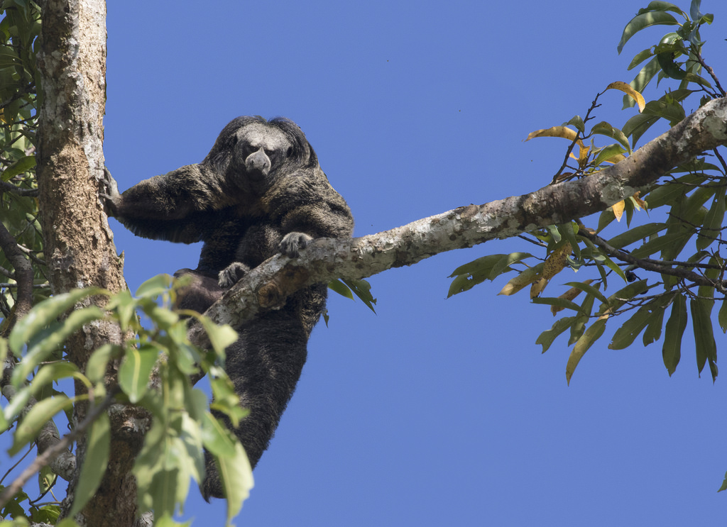 Monk saki monkey looking at the camera from a tree in the amazon rainforest