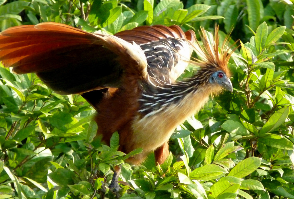A Hoatzin bird flapping its wings in a tree