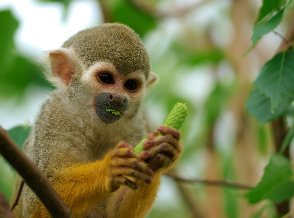 Squirrel Monkey eating a green plant in the tree tops