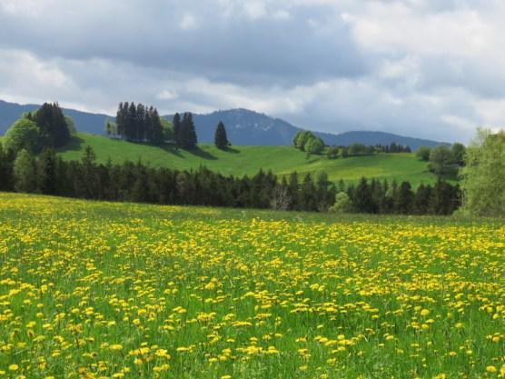 fiori gialli lungo la Romantische strasse