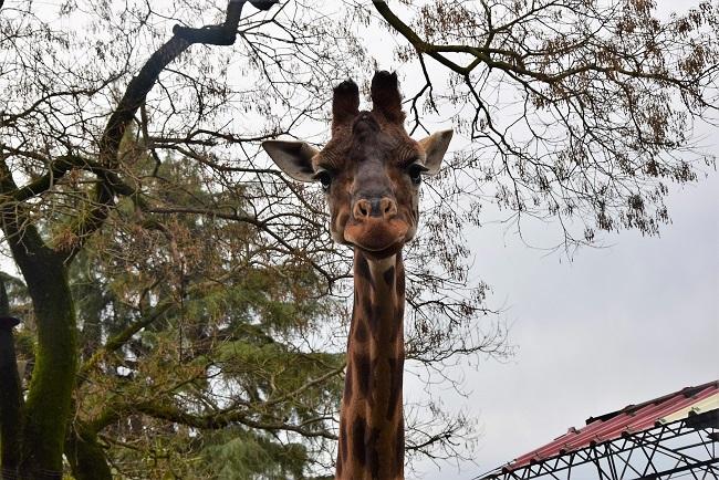 giraffa zoo di pistoia