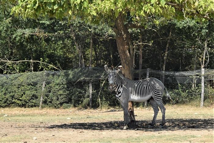Leo Wild Park, le zebre