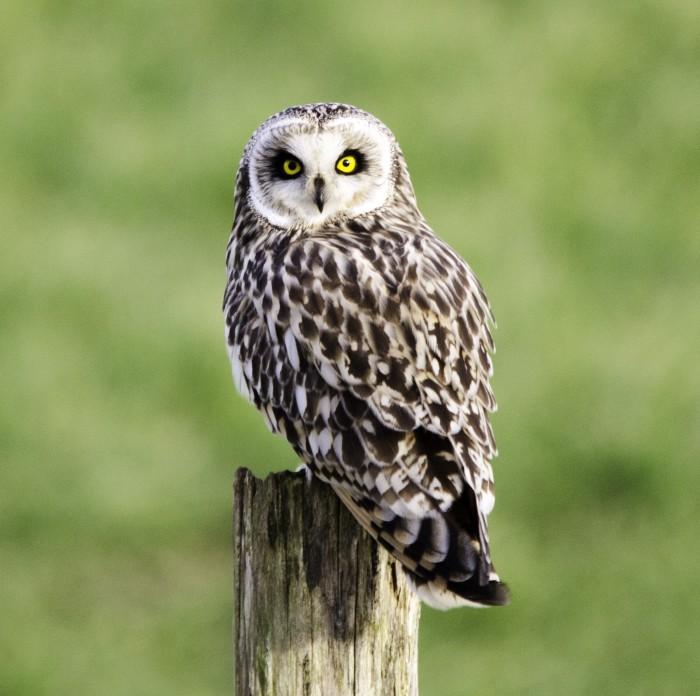 RSPB Owl
