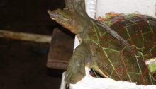 Yangshuo Markt Schildkröte