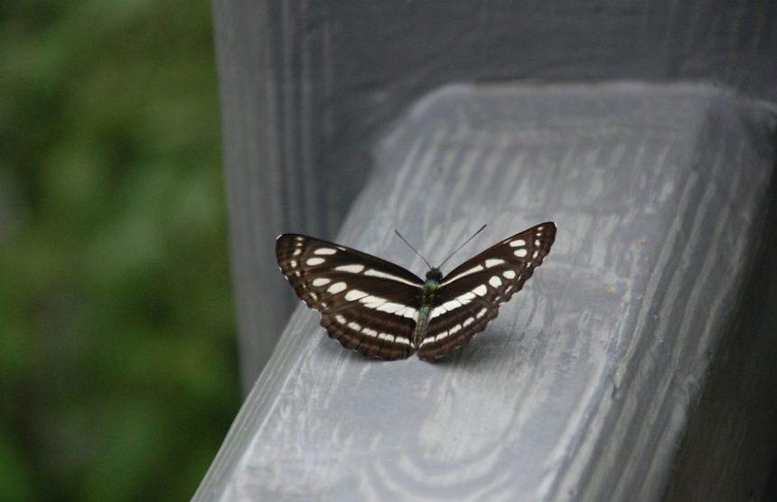 Schmetterling am Emeishan bei Chengdu, braun mit weißen Flecken.