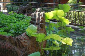 Wenshu Tempel Garten Lotus