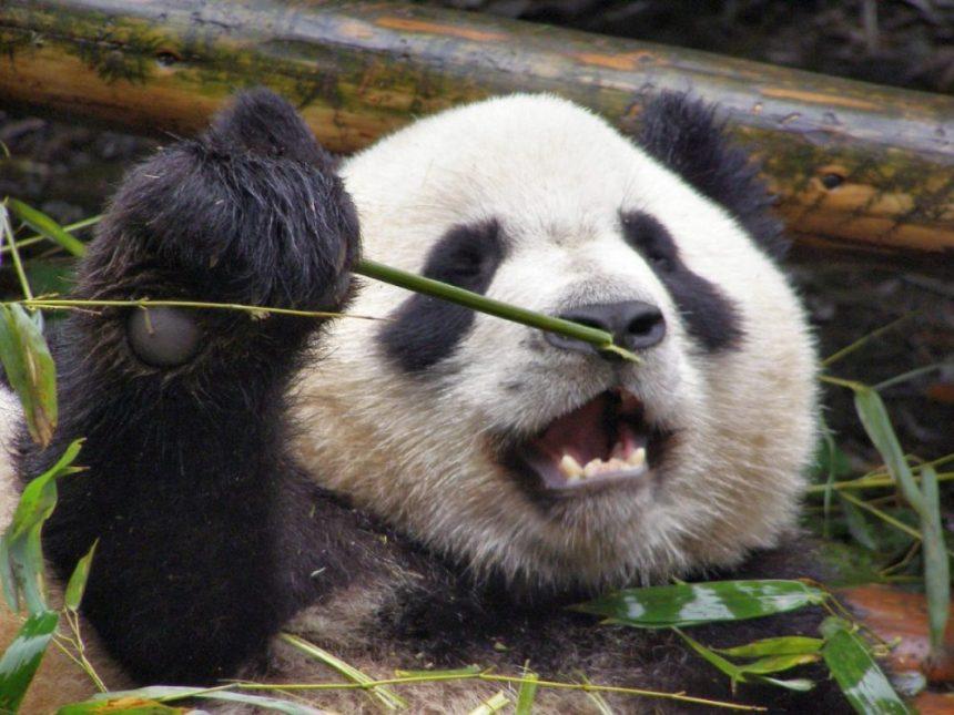 >Großer Panda