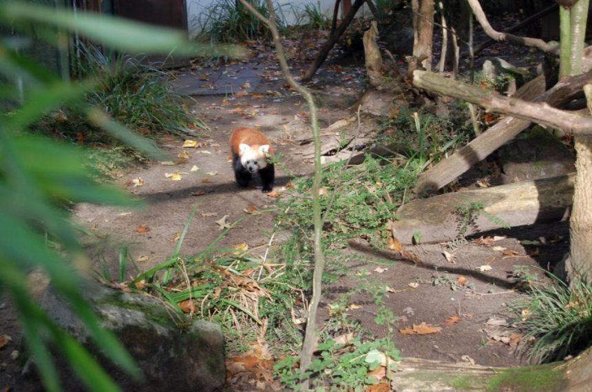 Kleiner Roter Panda