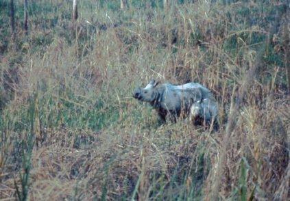 Chitwan Rhino Mama