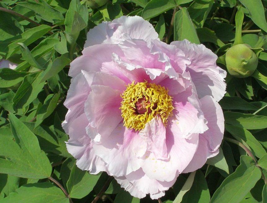 Päonie Pfingstrose, hellrosa Blüte mit gelbem zentrum.