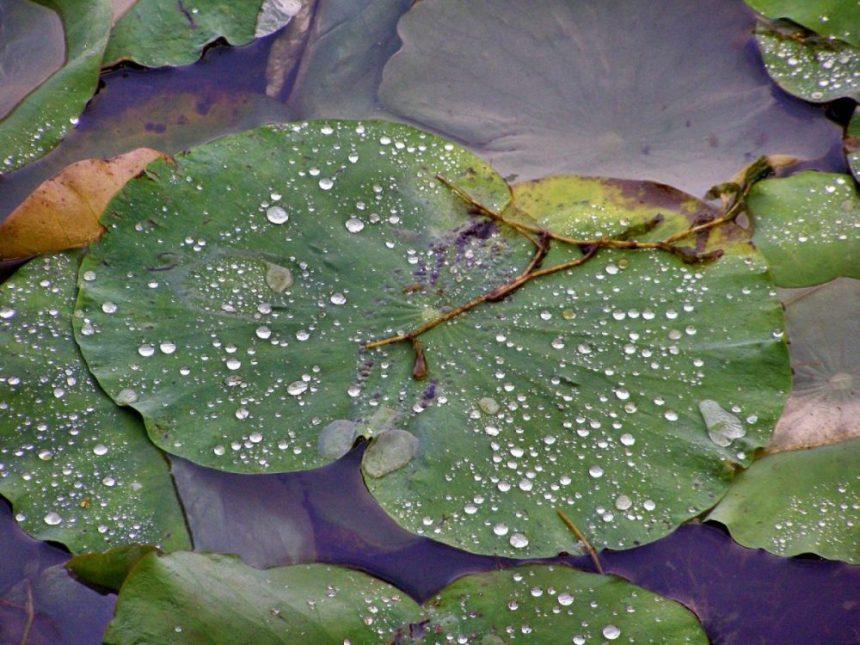 Regentropfen auf Lotusblättern