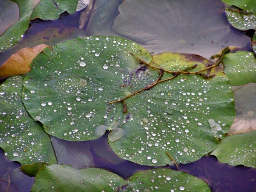 China bei Regen: Lotos