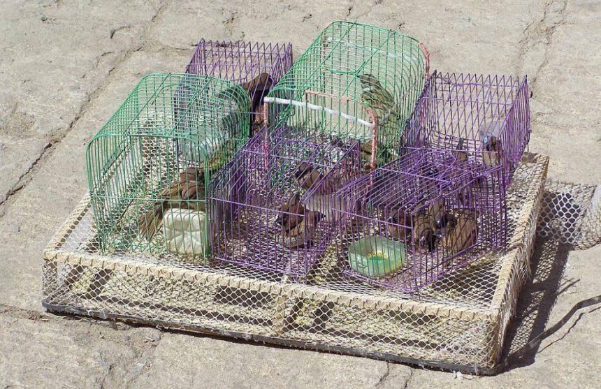 China als Vorbild? Diese Vögel werden bei einem Tempel am Wutaishan zum Verkauf angeboten. Wenn man sie fliegen lässt, kommen sie häufig freiwillig zurück, weil sie dort auch gut gefüttert werden.