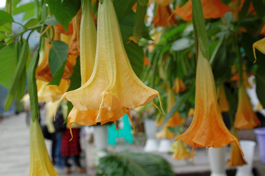 Trompeten Blüten im Daci Tempel