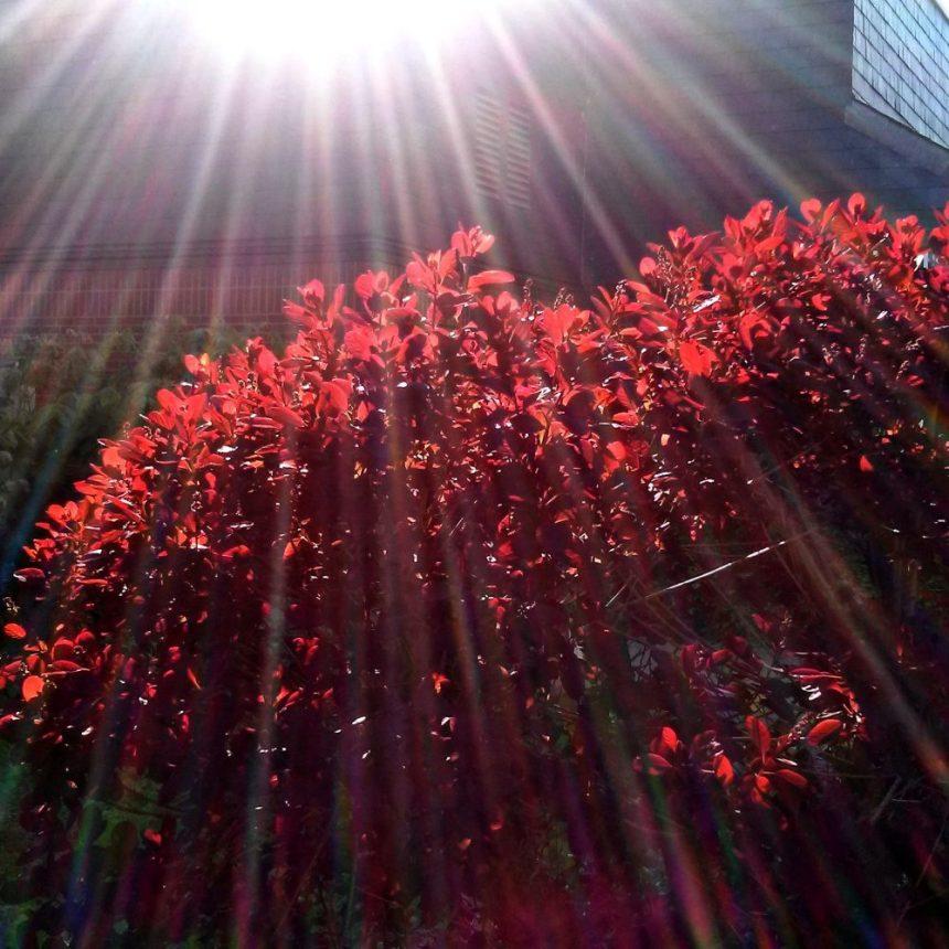 Rote Blätter im Gegenlicht