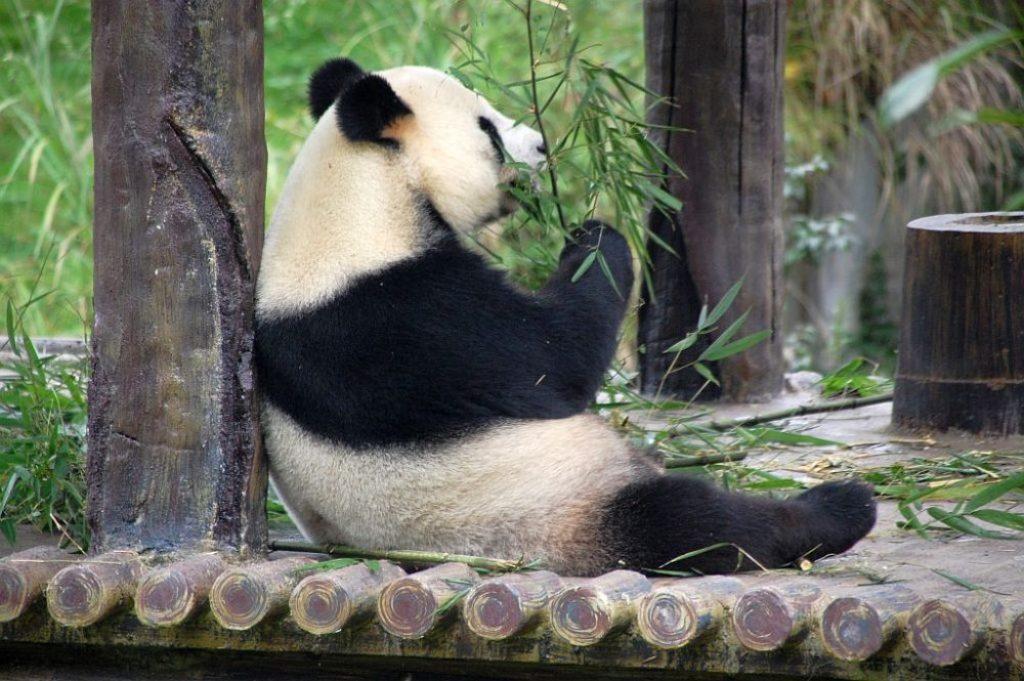 Großer Panda bei seiner zweitliebsten Beschäftigung - dem Fressen.