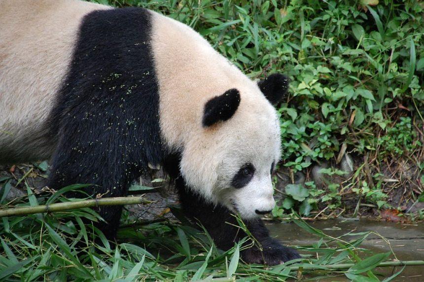 Panda-Aufzuchtstation Bifengxia.