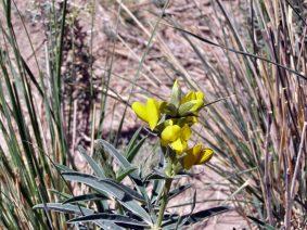 Pflanze mit gelber Blüte
