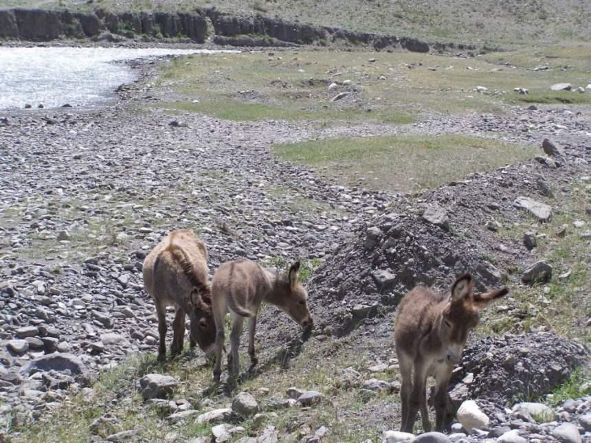 Esel am Wegesrand Kirgistan