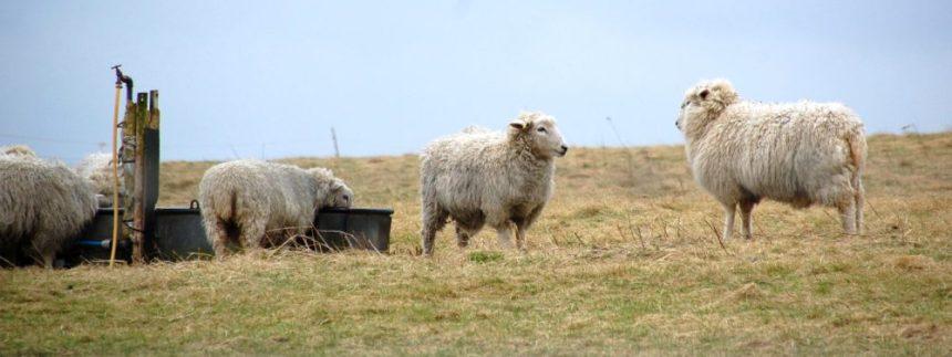 Schafe bei Stonehenge
