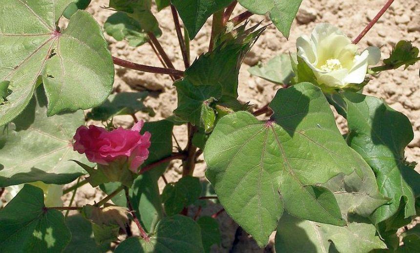 Flowers of Usbekistan: Baumwollblüten