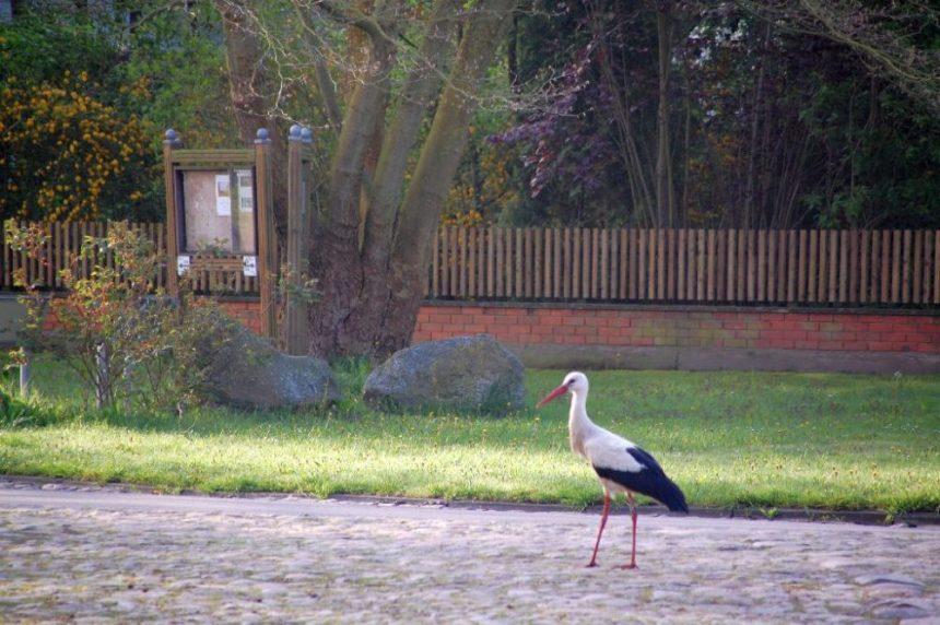 Ein Storch spaziert durchs Dorf