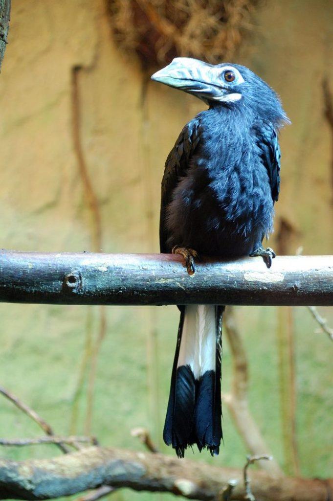 Zoo Dresden - Hornvogel