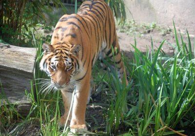 Sibirischer Tiger Im Zoo Hannover