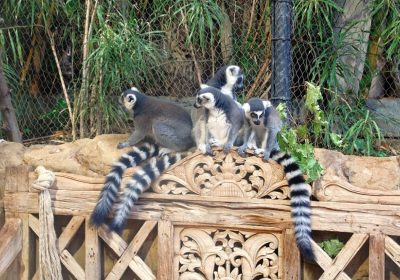 Tropenaquarium - Kattas - Lemuren aus Madagaskar