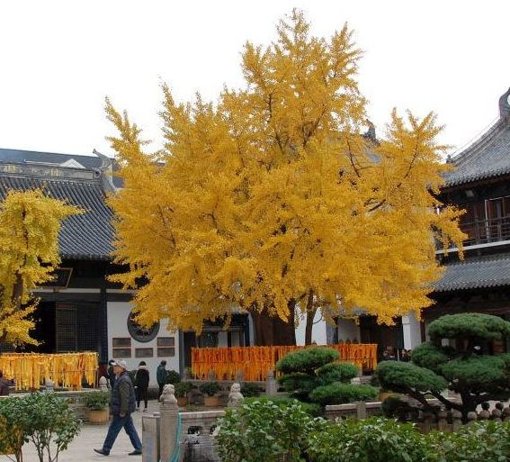 Gingko Baum im Zhengru Tempel