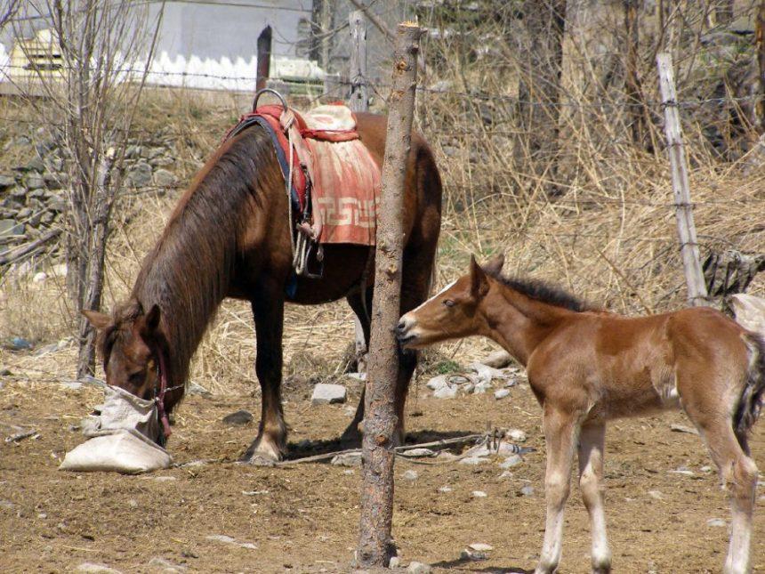 Dailuo Pferde -Reiseblog