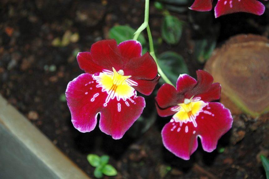 Rote Orchidee im Berggarten Hannover