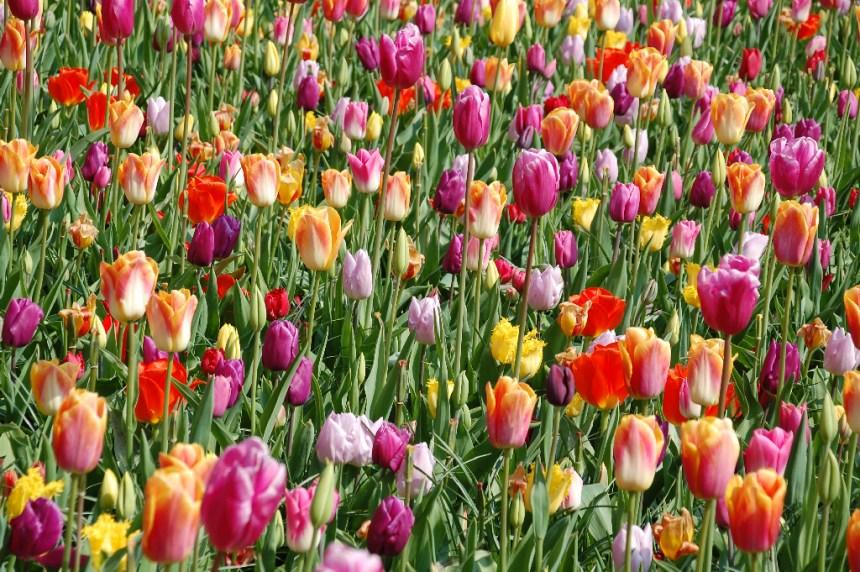 Bunte Tulpenpracht im Keukenhof