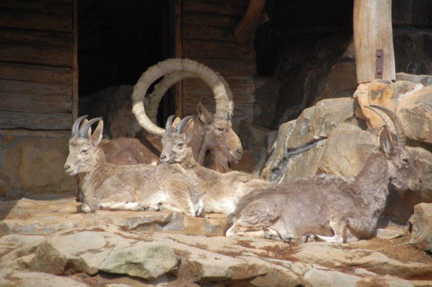 Steinbock Zoo Berlin