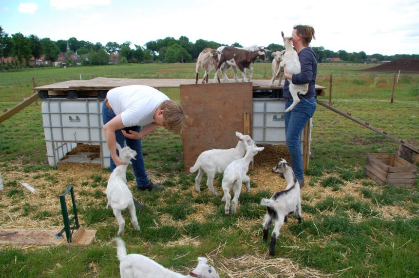 Ziegenfarm im Emsland