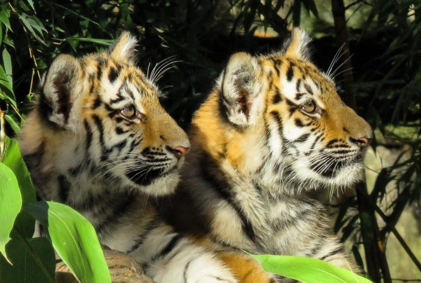 Zwei junge Tiger