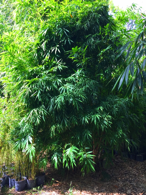 Bamboo Forever Central Florida Bamboo Nursery Specializing In