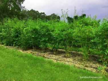graceful bamboo screen for web