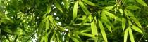 CONBAM_Versand-Bambushandel_Bambusboden_Rohstoff_Moso-Mao-Bambus