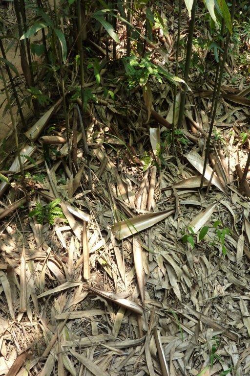 Bambusblätter Tonkin-Bambusstangen_CONBAM